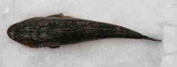 fish-supplied-dusky-flathead-845×321